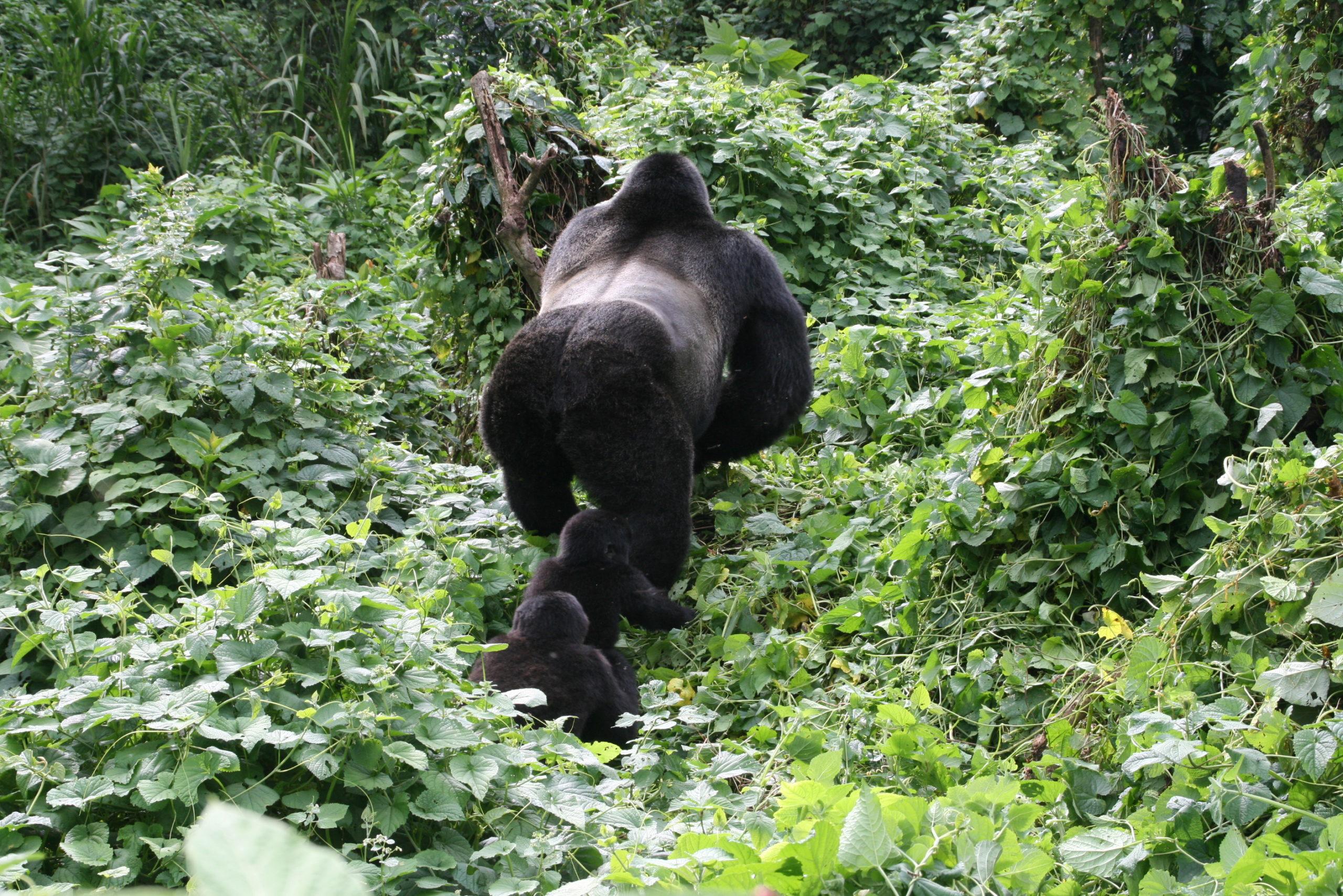 Gorilla familie, regenwoud