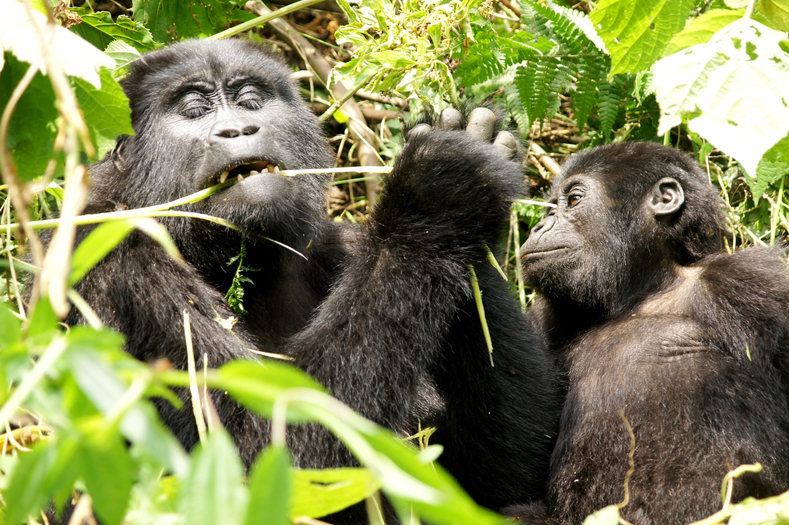 Etende gorilla, spelen, familie