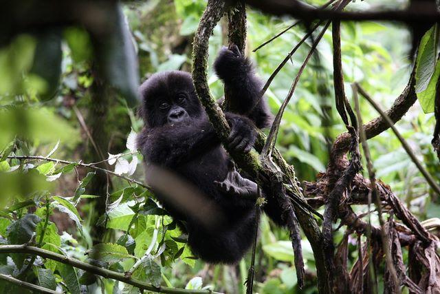 Klimmende gorilla, trekking, oog in oog