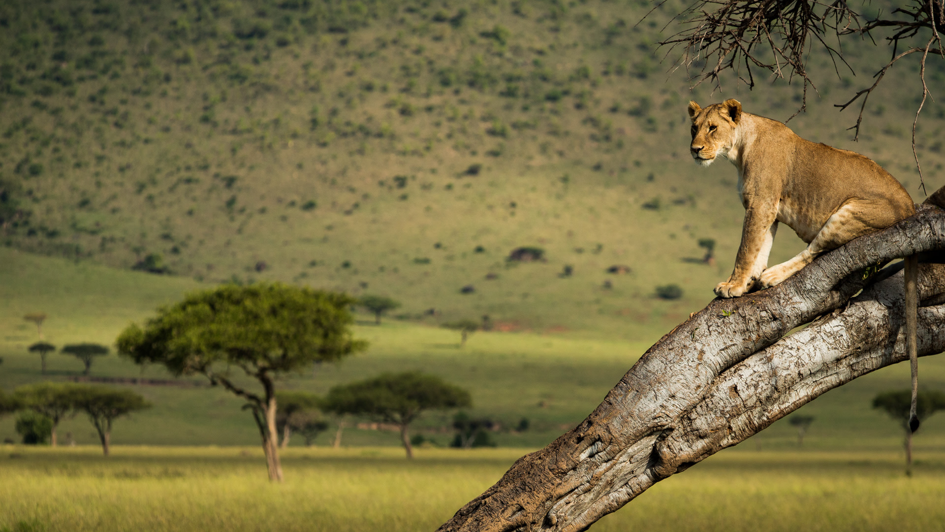 boomklimmende leeuw kenia