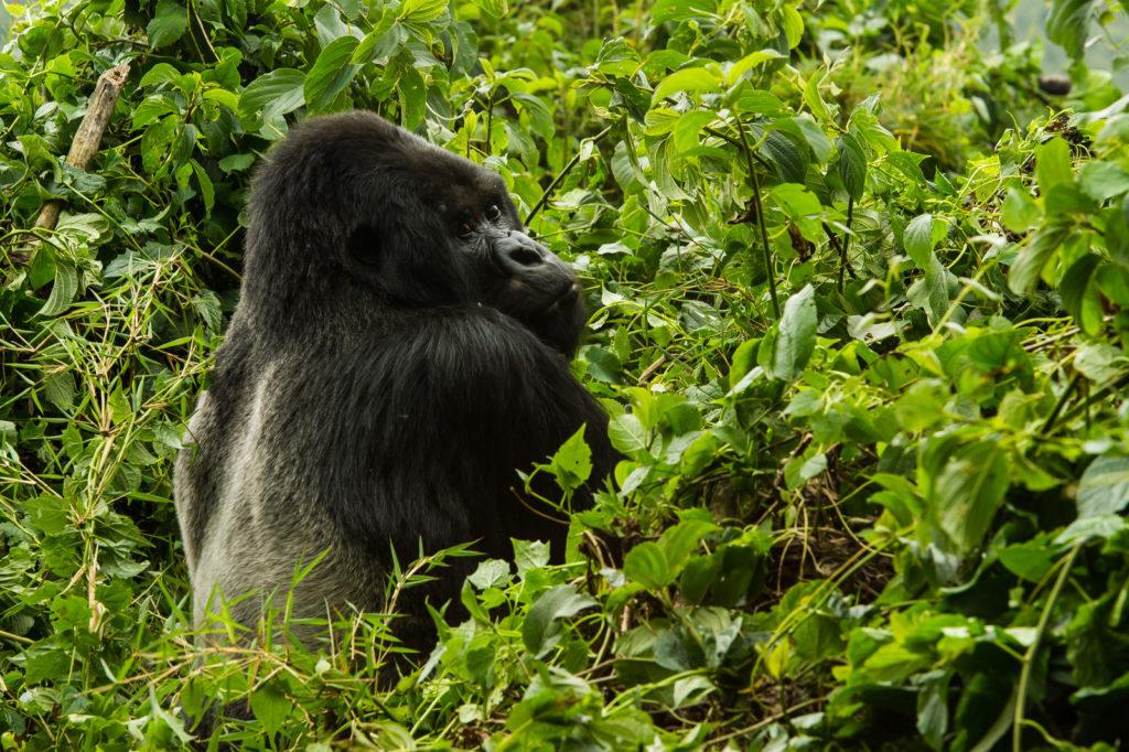Oog in oog, gorilla