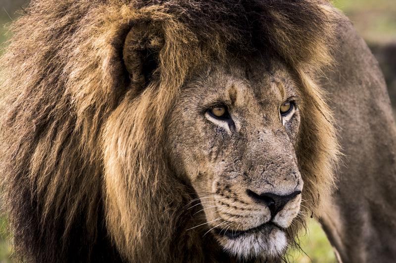 botswana leeuw