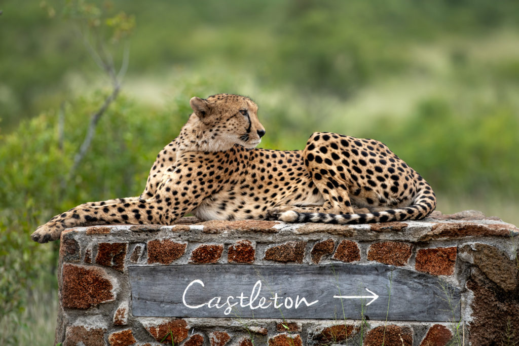 Cheeta Zuid-Afrika