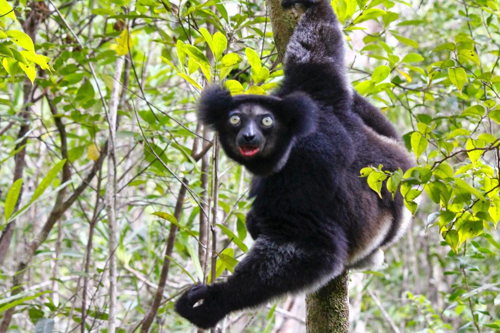 Madagascar Lemuur