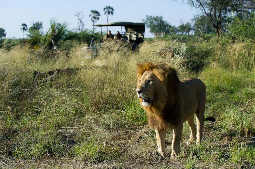 Leeuw, Okavango Delta