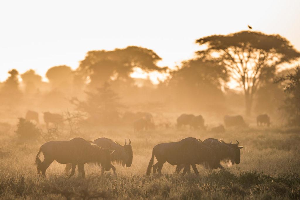 Serengeti Buffels