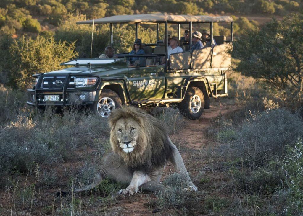Game drive, leeuw