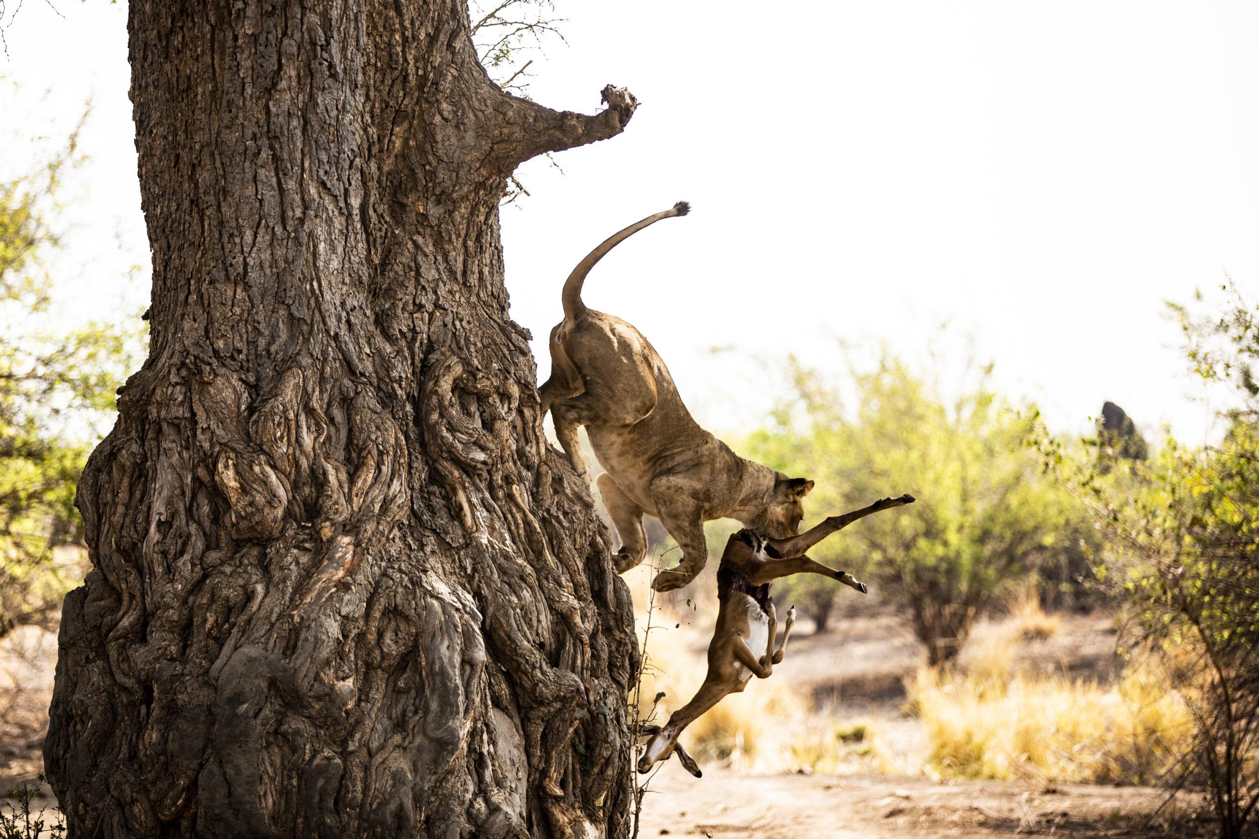 leeuw jagend zimbabwe