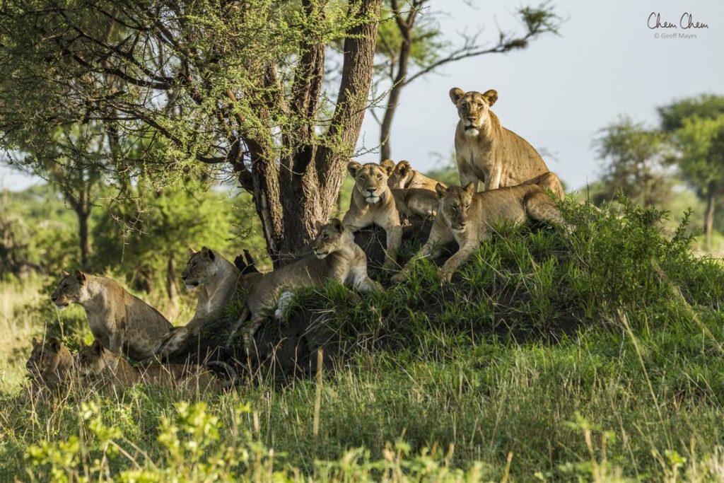 Tarangire National Park Leeuwen