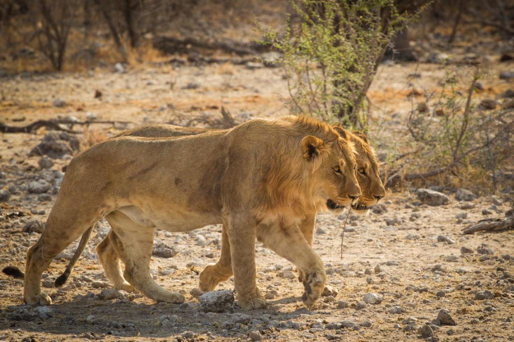 Onguma Nature Reserve Leeuw