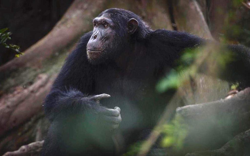 Oeganda Chimpansee