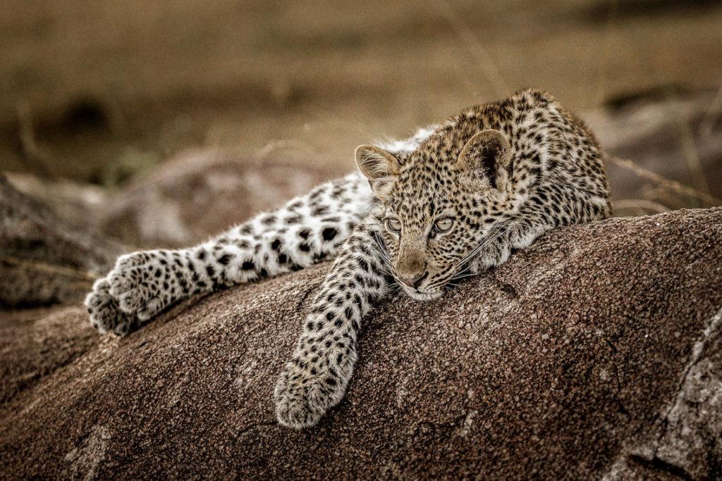 Luipaard Mwiba