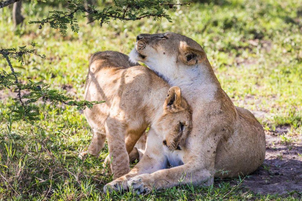 Mwiba Wildlife Reserve Leeuwen