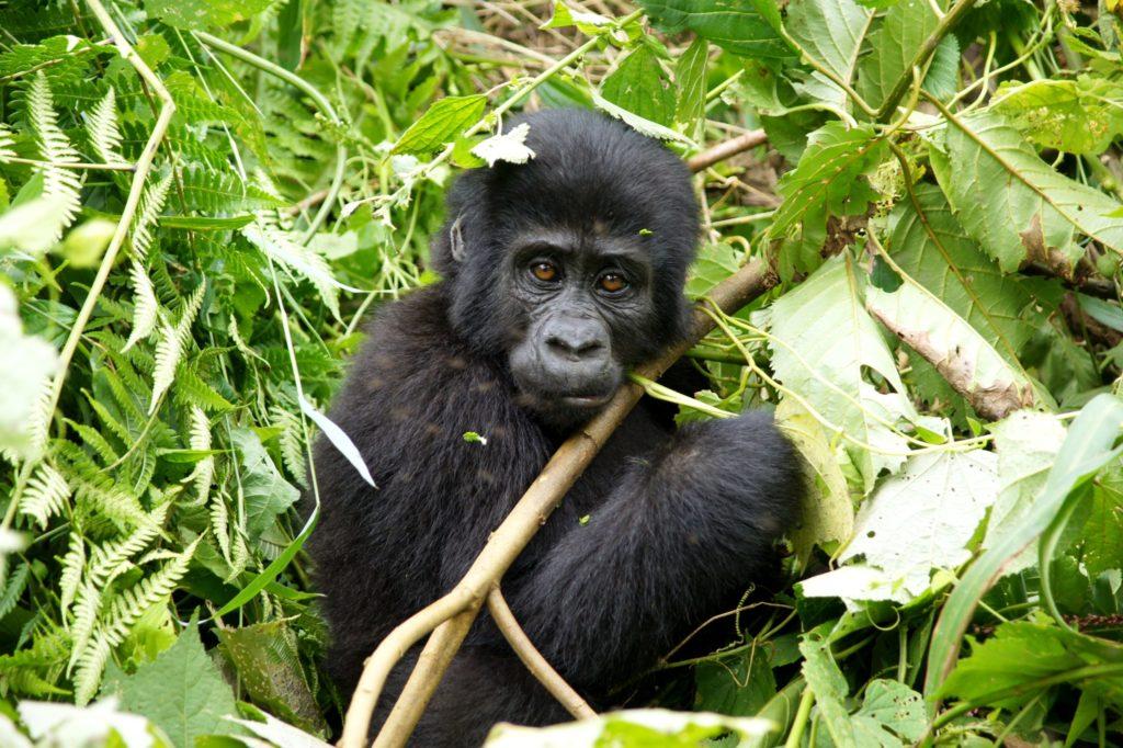bwindi-impenetrable-forest-gorilla-2