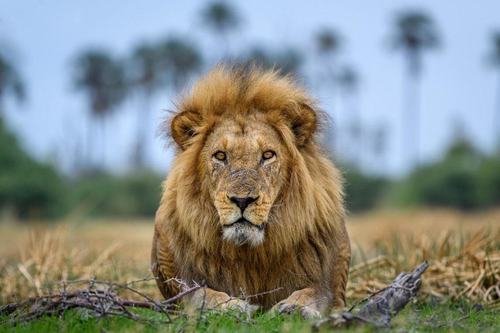 Leeuw, Okavango