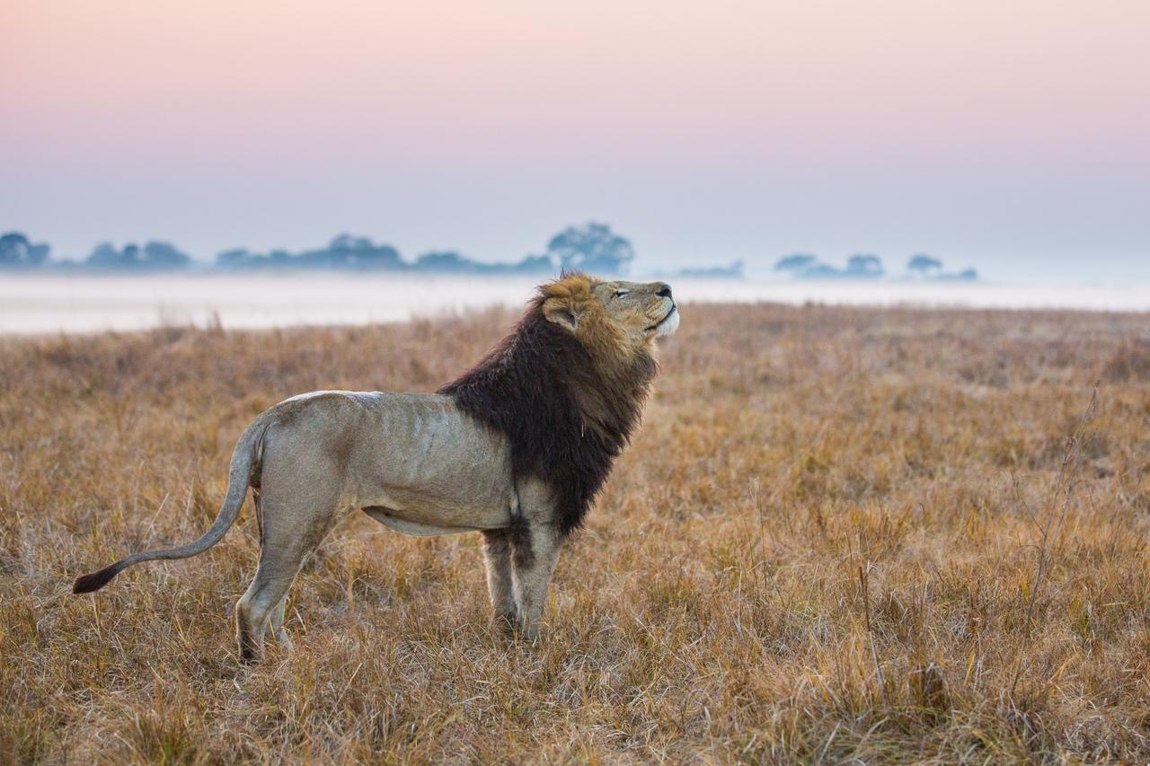 zambia leeuw