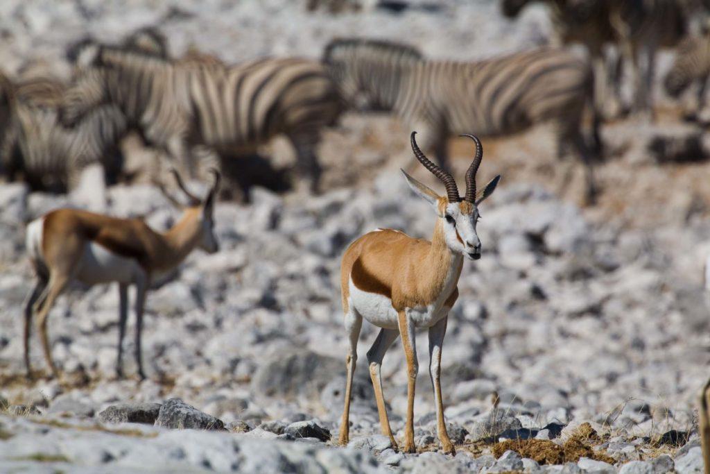 Etosha National Park Antilope