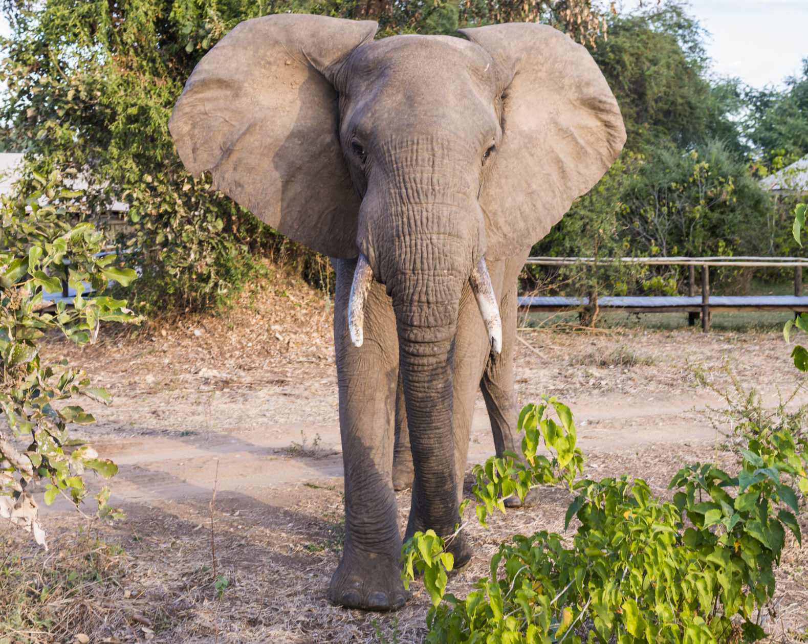 olifant zambia