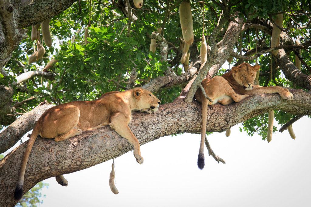 Boomklimmende Leeuw Oeganda
