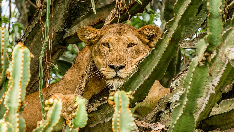 Leeuw Oeganda