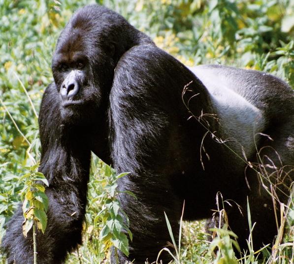 Oeganda Gorilla