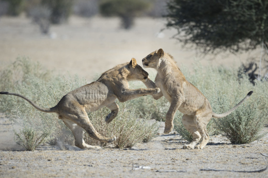 Serengeti leeuwen