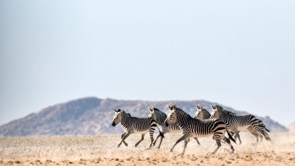 hartmann-zebra's