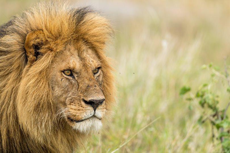 Serengeti Leeuw