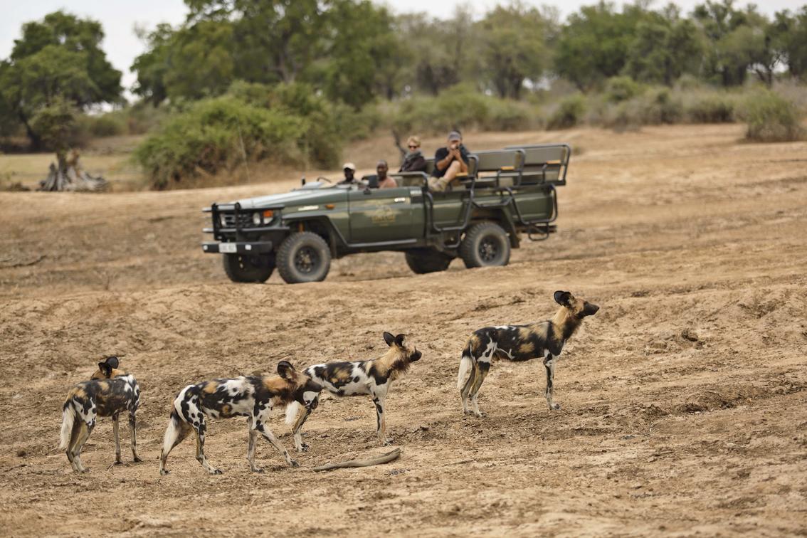 zambia wilde honden