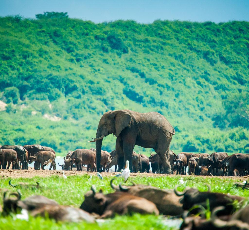 bwindi-impenetrable-forest-bos-olifant