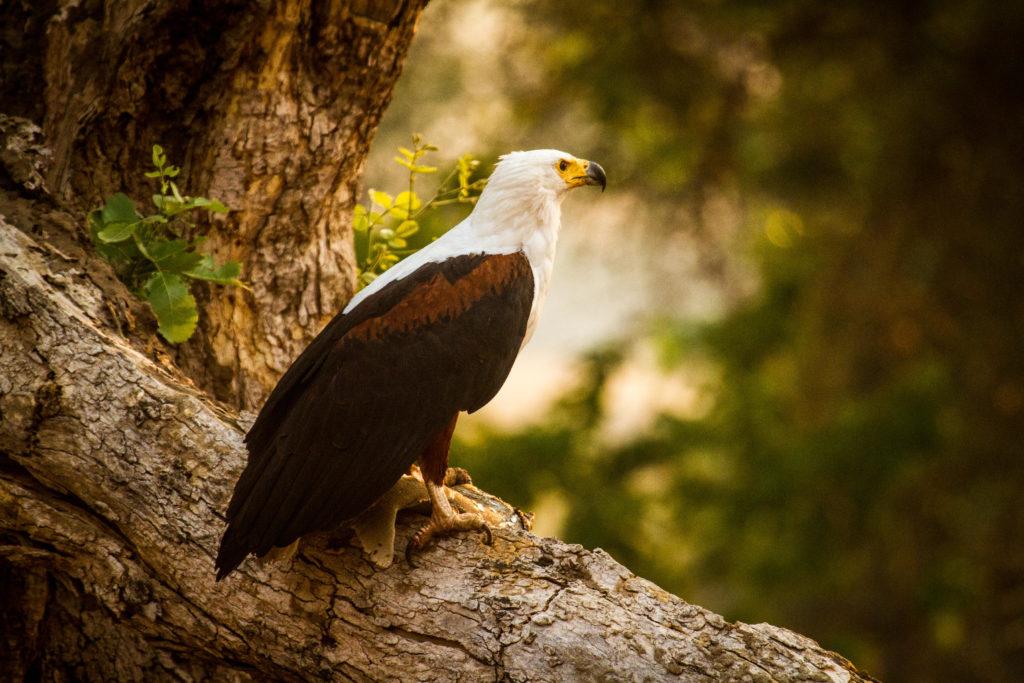 Mana Pools National Park Fish Eagle