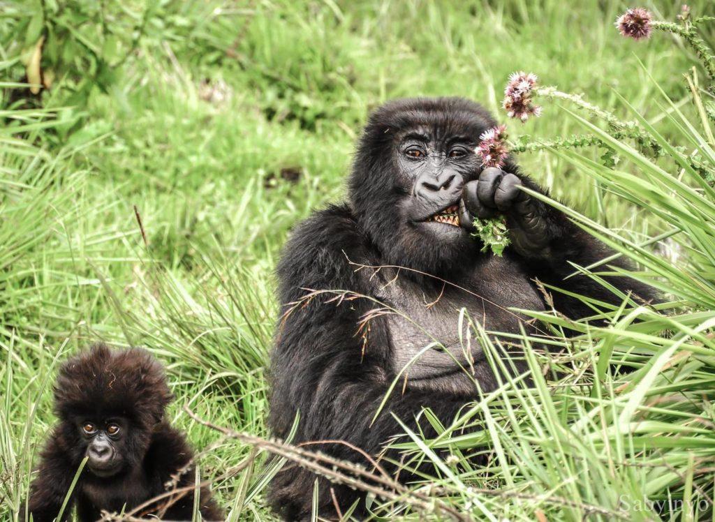 Volcanoes National Park Gorilla Spot