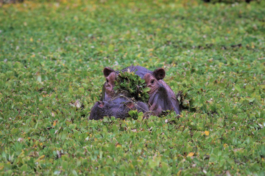 Mana Pools National Park Nijlpaard