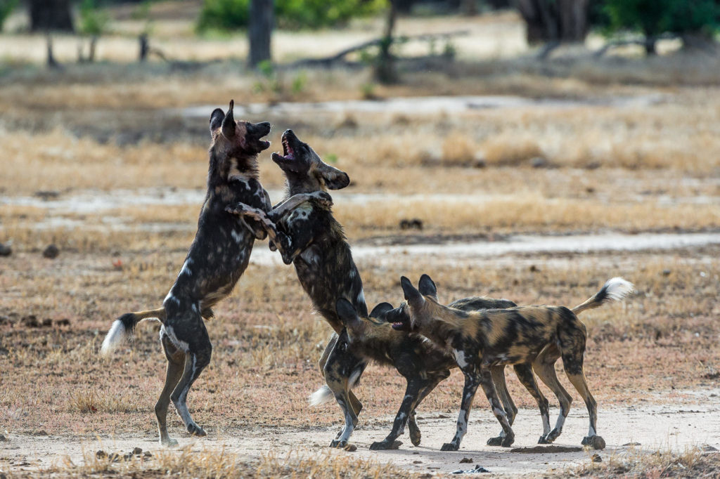 Mana Pools National Park Wilde Honden