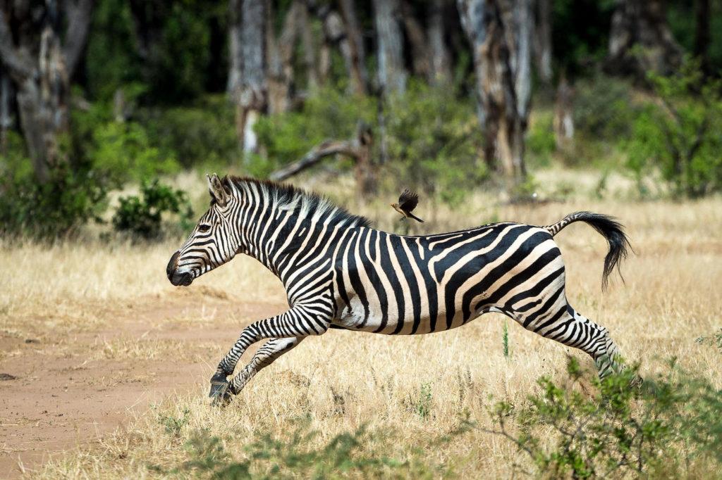 Mana Pools National Park Zebra