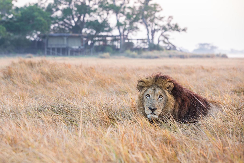 leeuw zambia