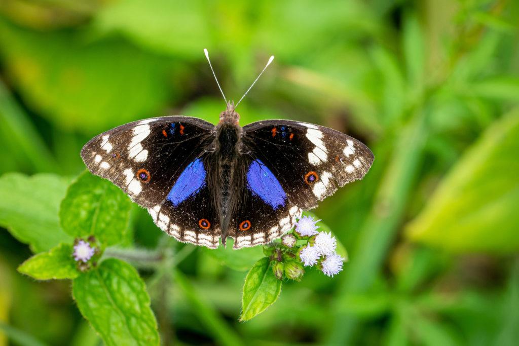 bwindi-impenetrable-forest-vlinder
