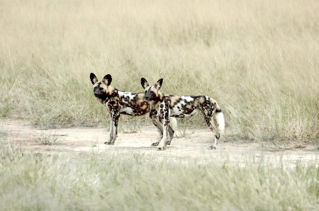 Mana Pools National Park WIlde hond