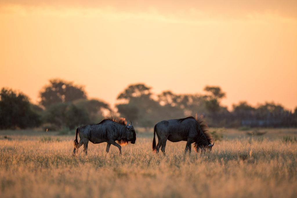 wildebeest makgadikgadi