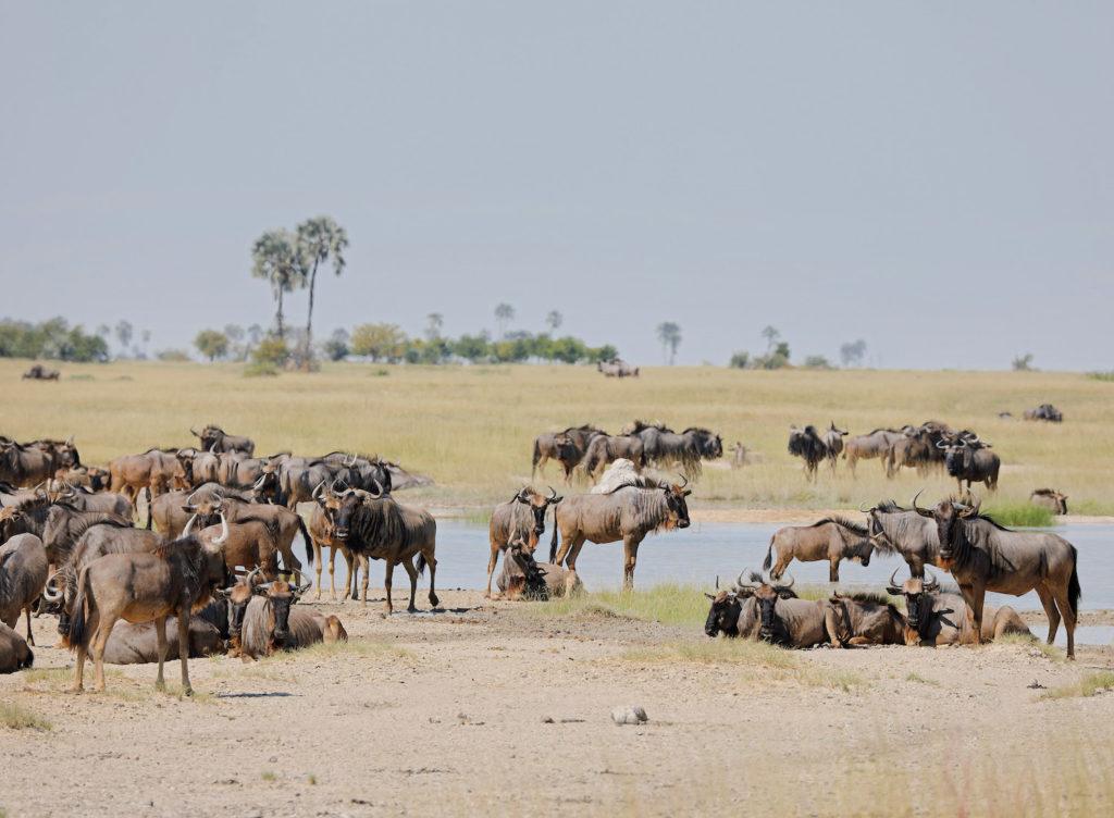 wildebeest drinken makgadikgadi