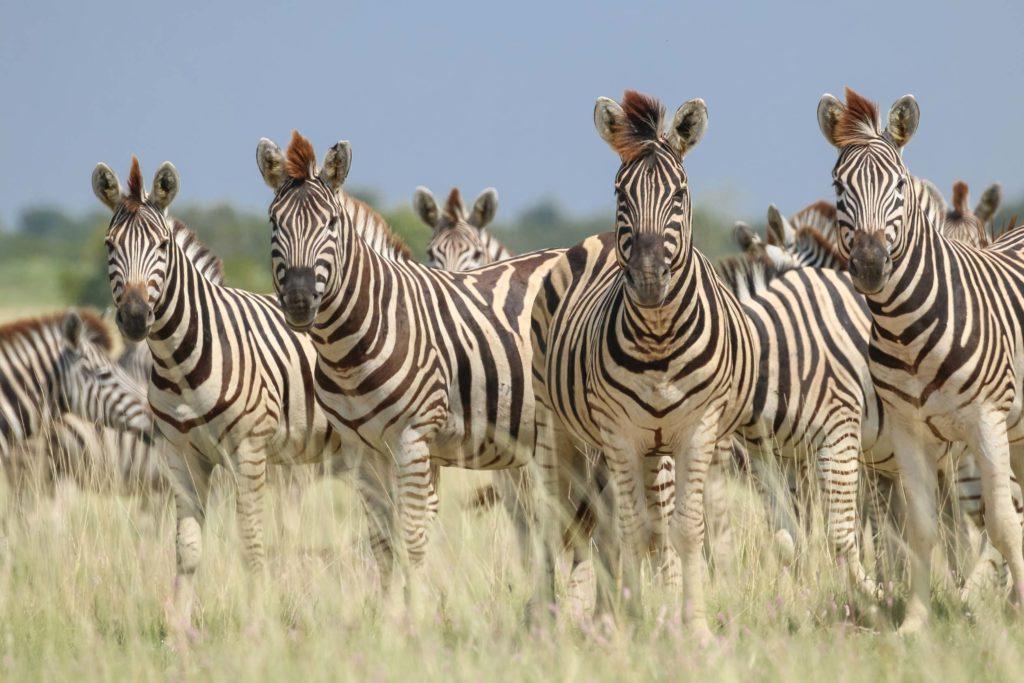Zebra's makgadikgadi