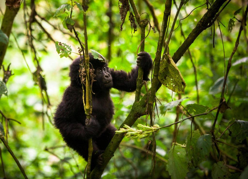 bwindi-impenetrable-forest-baby-gorilla