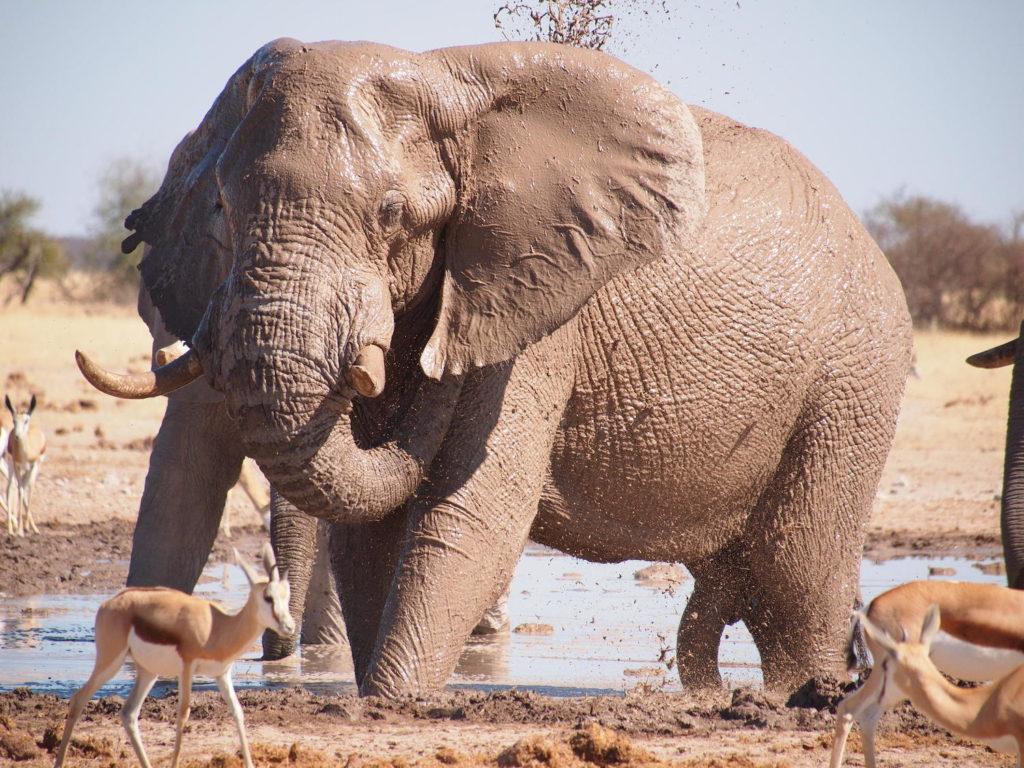 olifant nxai