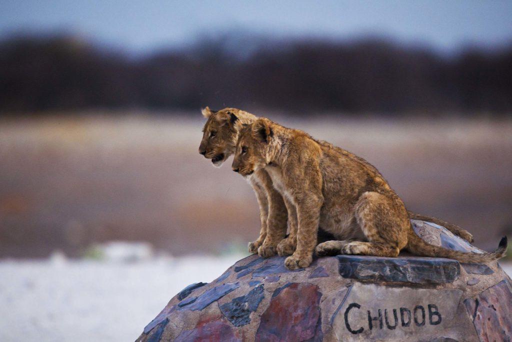 Leeuwen Namibië