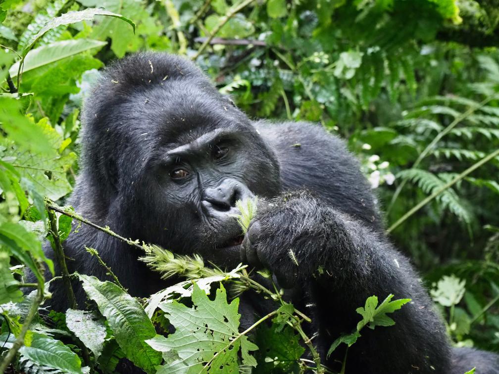 bwindi-impenetrable-forest-gorilla