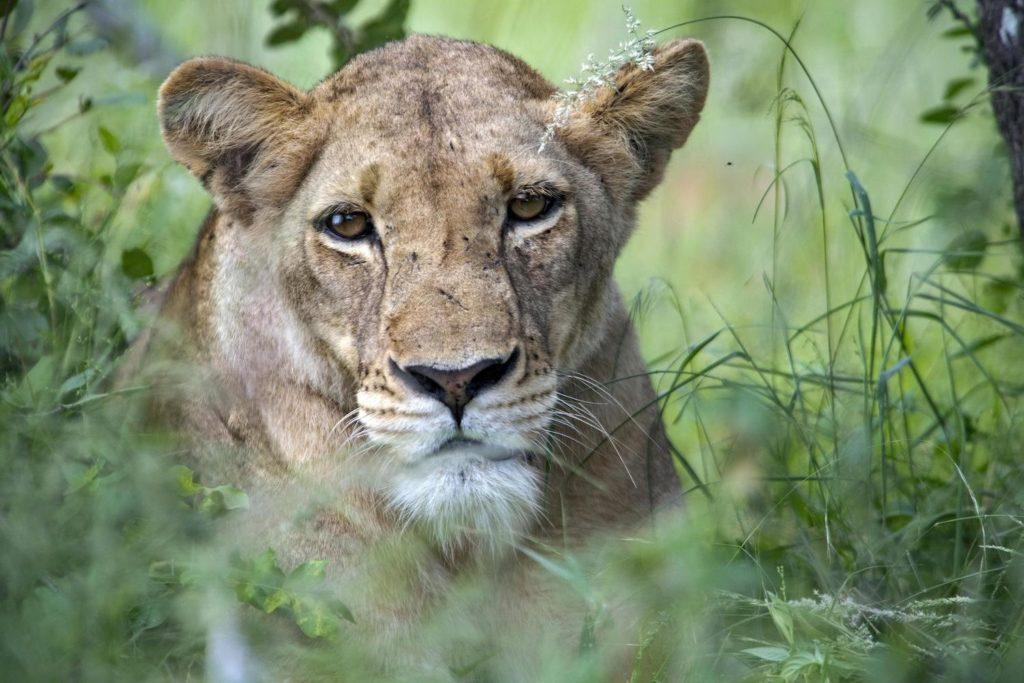 Timbavati Game ReserveKrugerpark Leeuw