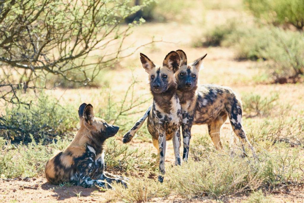 Okavango Delta Wilde Honden